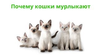 Почему кошки мурлыкают. Ветеринарная клиника Био-Вет.