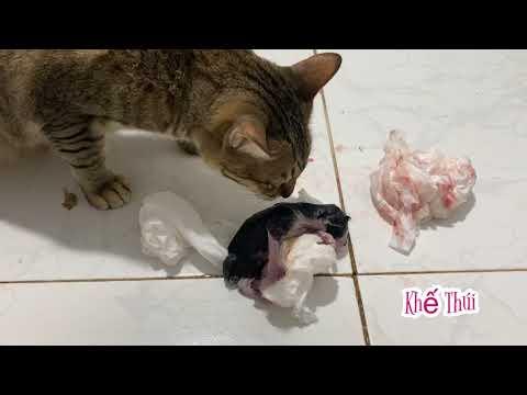 """Vì sao mèo Mẹ ăn thịt mèo con"""" - khế Thúi"""