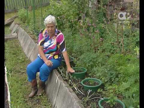 Голова садовая. Как выращивать хризантемы