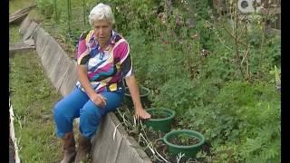 Голова садовая. Как выращивать хризантемы(, 2016-07-04T04:21:33.000Z)