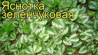 Яснотка зеленчуковая. Краткий обзор, описание характеристик lamiastrum galeobdolon