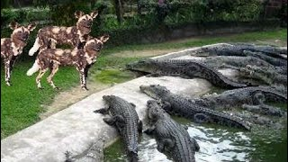 [Best Animal Fights]  Amazing Wild Animal Footage Where You Will See Wild Boar, Deer, Tiger, Jaguar