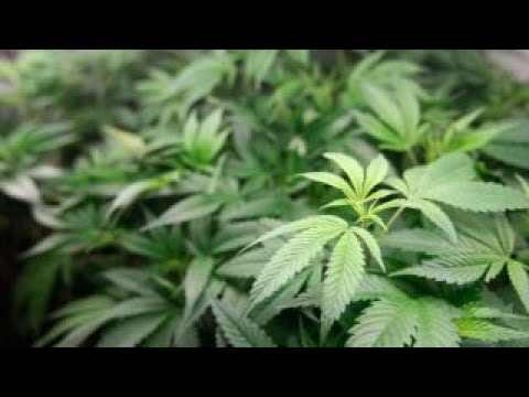 Download Youtube: Marijuana legalization threatened by Attorney General Sessions