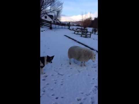 Овца, которая считает себя собакой Очень смешная