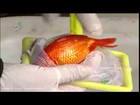 آنفلوآنزای فوق حاد پرندگان ماهی قرمز   برنامه تلاش سبز