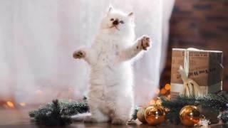 Котёнок рэгдолл