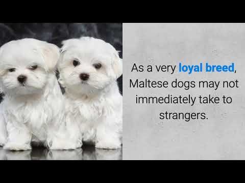 All About the Maltese Dog Breed