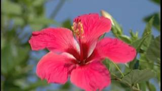 Hibiscus flowers  Video, Free video download HD(Hibiscus flowers Video, Free video download HD., 2013-03-11T11:02:36.000Z)