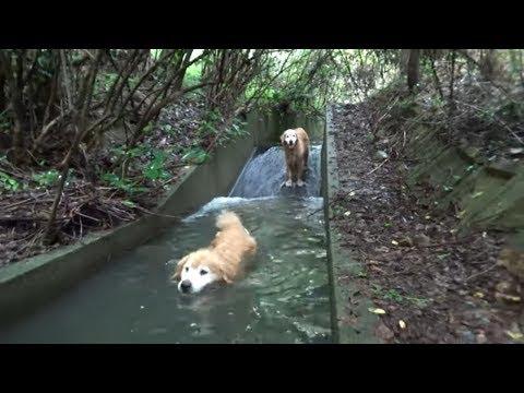 ゴールデンレトリバーが「ス~イスイ」、狭いながらも冷たい水の流れ込み