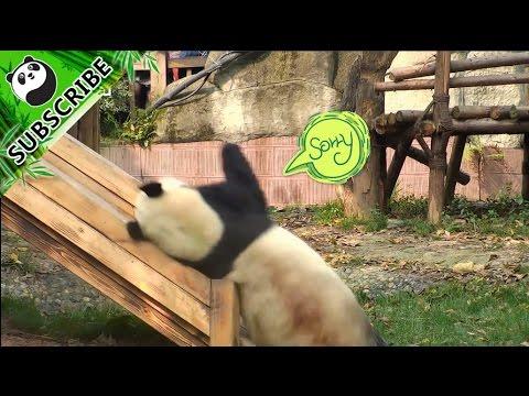 【PandaTop3】Panda Fu Lai has more...
