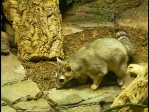 Ringtail Introductions