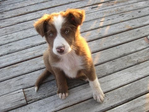 Supercute but naughty Border Collie Puppy