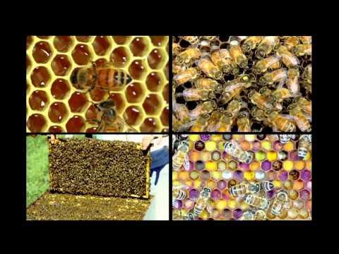 Почему умирают пчёлы и как их можно спасти.