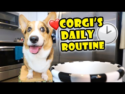 Sharing My CORGI'S Daily Routine — What It's Like    Life After College: Ep. 674