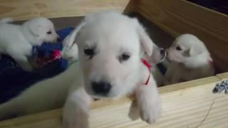 生後7週の子犬 7WEEKS PUPPIES.