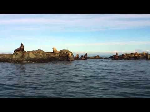 Steller Sea Lions - Belle Chain Islets - Georgia Straight