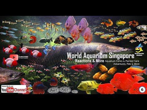 Lets Help Arapaima Fishes & Feeding Giant Arapaima Fish, Giant Red Tail Catfish, Giant Pacu Fishes