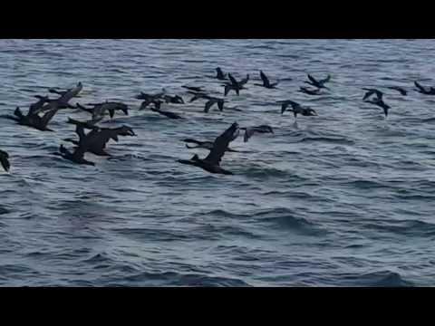 Socotra Cormorants on their way to Hawar Islands Bahrain