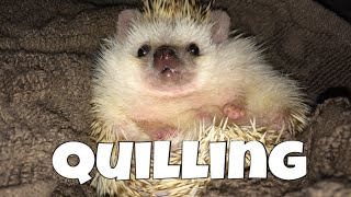Hedgehog Care: Quilling (feat. Draco)