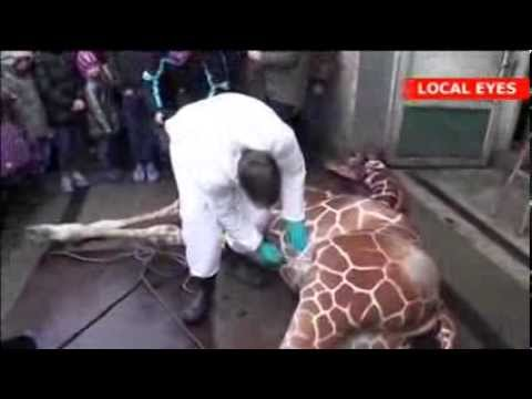 Baby Giraffe Killed and Fed to Lions by Zoo