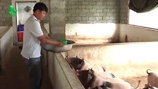 Nuôi lợn hương bằng thảo dược - Nuôi lợn hương tại Thạch Thất