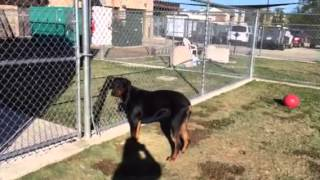 Rocky - Adult Rottweiler - Neutered Male