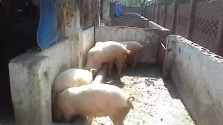 Pig farm india.Arun jaiswal 09690483333