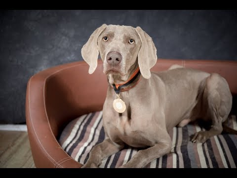 Ralphie - Weimaraner - 3 Weeks Residential Dog Training