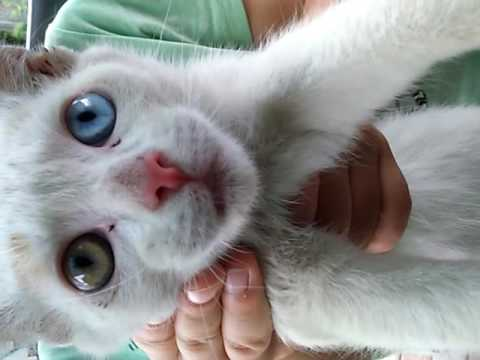 Two color Eyed cat
