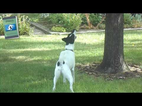 Smooth Fox Terrier Part II