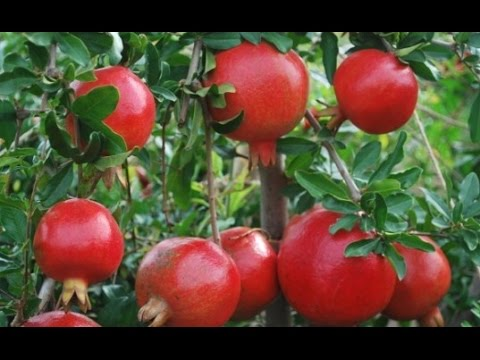 How To Grow Pomegranates Complete