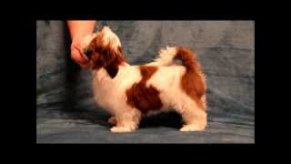 Puppy Shih Tzu  Red And White Kolor