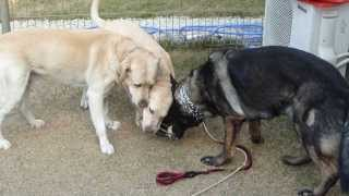German Shepherd Vs Labrador Retrievers シェパード対ラブ2頭