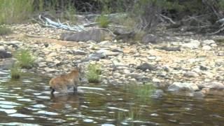 Lynx nageur aout 2011 (Pourvoirie Chalets Baie du Sud, Réservoir Gouin)