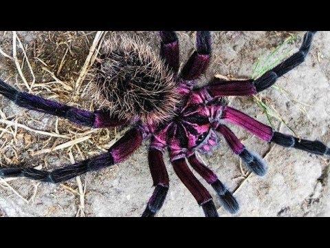 Unboxing Xenethis sp. Tenebris (Tarantulas)