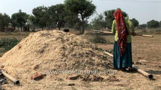 Indian women collect fodder from an agricultural field