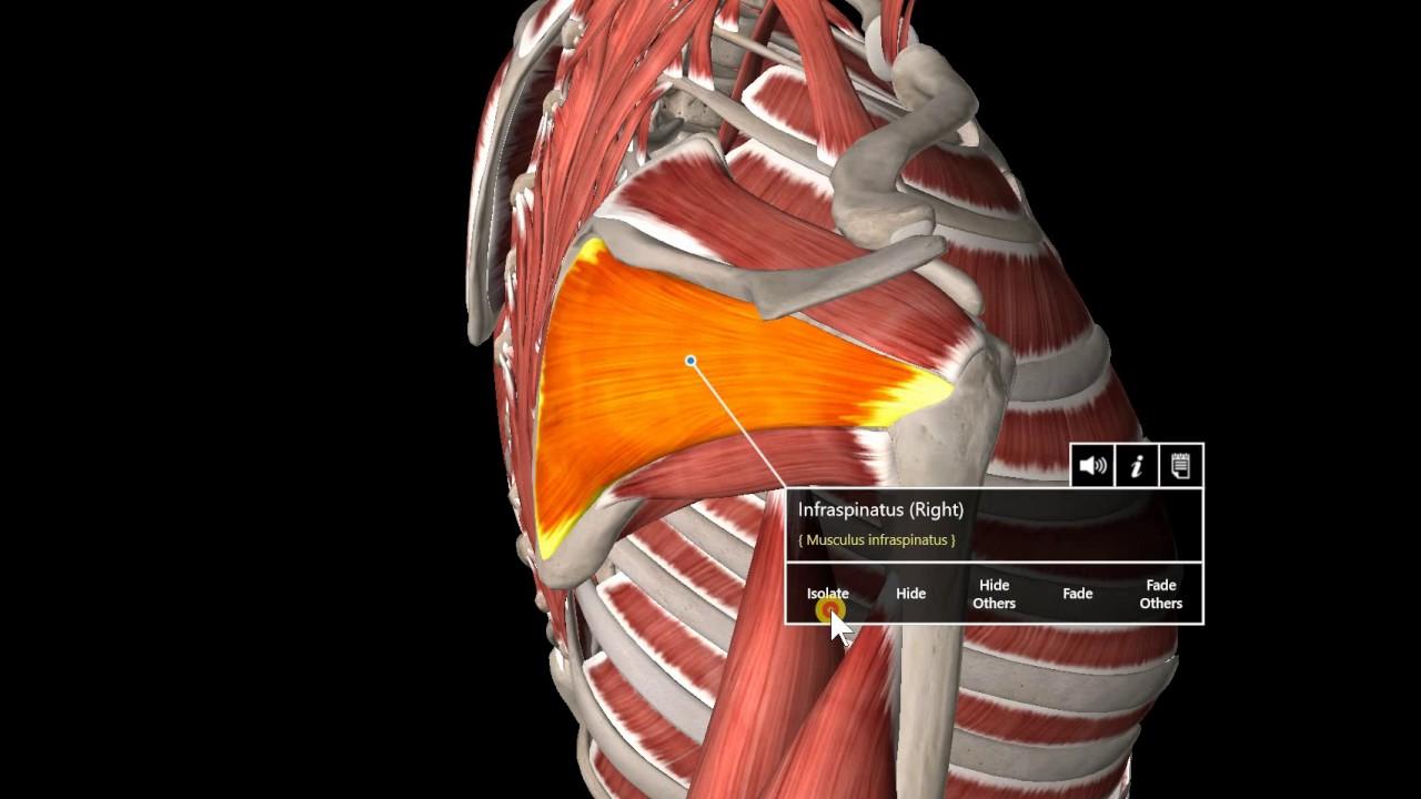 10 Muscle Gross Anatomy Rotator Cuff Mm And Lats Youtube