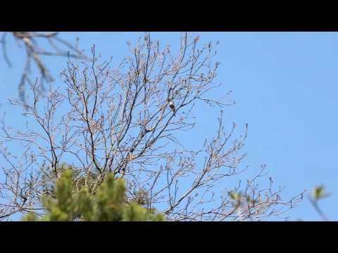 Colima Warbler Singing