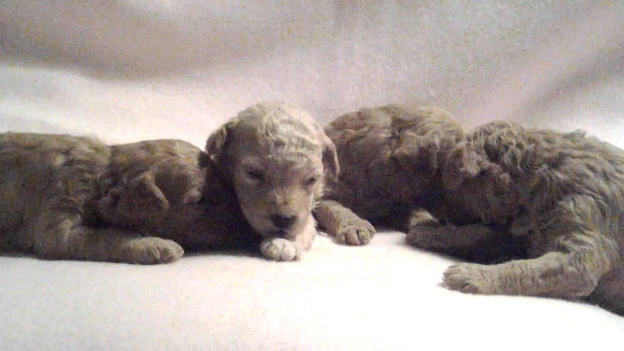 miniature poodle puppies newborn 3 weeks youtube