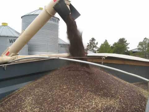 Vacuuming Canola with a REM grain vac