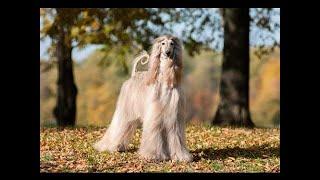 トップ10最もエレガントな犬の品種 新しく驚異的なトップ10は、毎週の動...