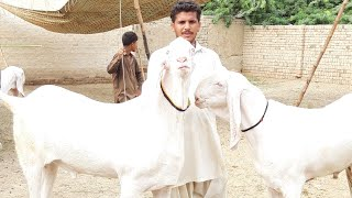 Beautiful patira goat's for sale at F G GOAT FARM - National Bakra