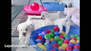 English white lab puppies playing