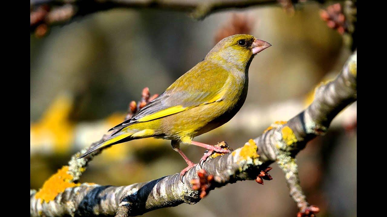 Chant des oiseaux des jardins youtube for Oiseaux des jardins
