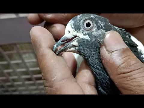 Pigeon... Lahore champion kabootaron ka shoq..04 May 2020