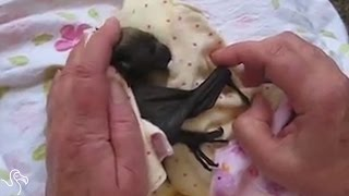 Orphaned Baby Bat Snuggles Up To His Rescuers