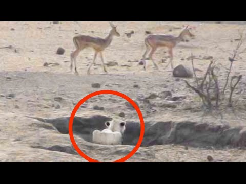 Worst Lion Hunt Fail Ever!