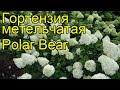 Гортензия метельчатая Polar Bear. Краткий обзор, описание характеристик