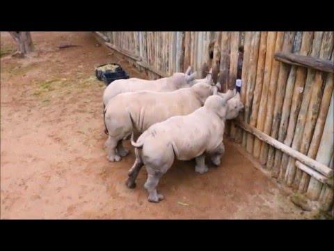 As� lloran los rinocerontes
