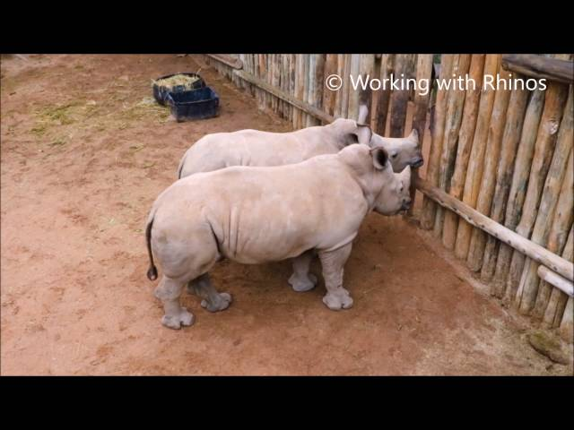 Baby Rhinos Cry When Their Milk Runs Out - Cute Tube Videos-2599
